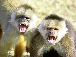 обезьяны капуцины